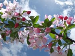 cherry-blossom-254680_640
