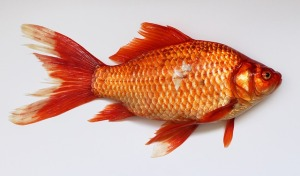 goldfish-537832_640