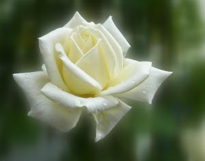 rose-140446_640