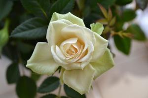 cream-rose-272946_640