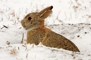 cottontail-rabbit-938478_640