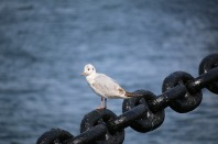 sea-gull-939474_640