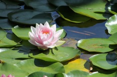 water-lilly-1227948_640