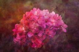 Lost Pink Hydrangea by Steven V. Ward