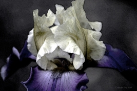 Watercolor Iris by Steven V. Ward
