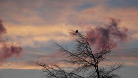 Pink clouds behind single bird in a tree
