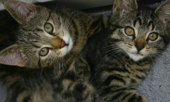 Two gray tabby cats