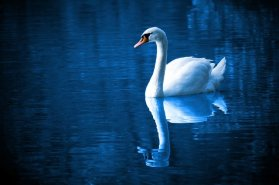 White swan on smooth blue water