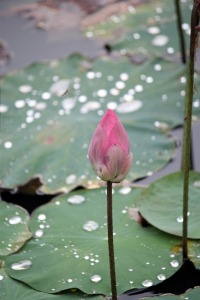 pink lotus flower on green