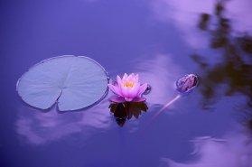 Pink lotus on purple background