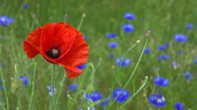 Red-orange poppy with little blue flowers and green grass