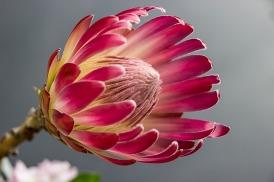 deep pink protea