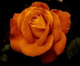 Gold color rose bloom