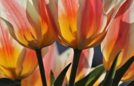 orange and yellow tulips with green stems and leaves